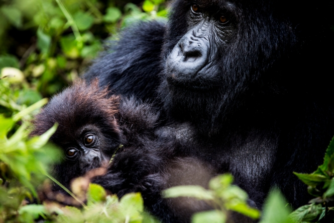 Only around 780 mountain gorillas are left in the world – a third in Rwanda. Image courtesy of Crookes and Jackson, Bisate Lodge